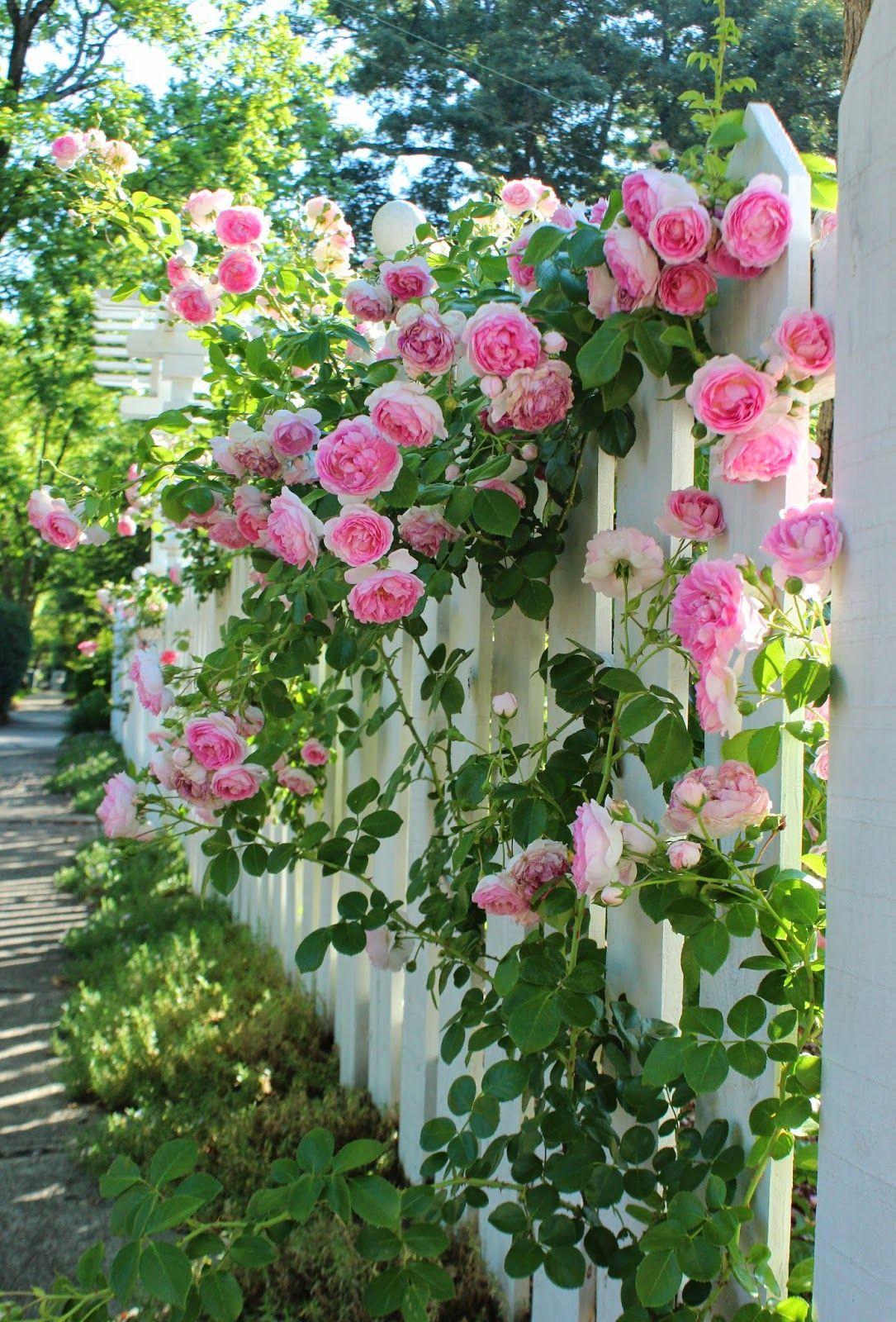 Вьющаяся роза украшает забор, а он, в свою очередь, служит для растения опорой