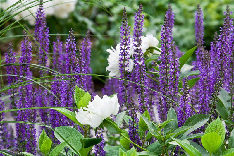 Густо высаженные люпины создадут в саду настоящий цветочный ковер