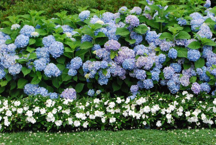 Нежное сочетание голубой гортензии и белого бальзамина