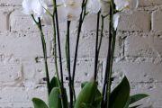 Фото 15 Как ухаживать за орхидеей в домашних условиях: хитрости для регулярного цветения и советы по уходу сразу после покупки
