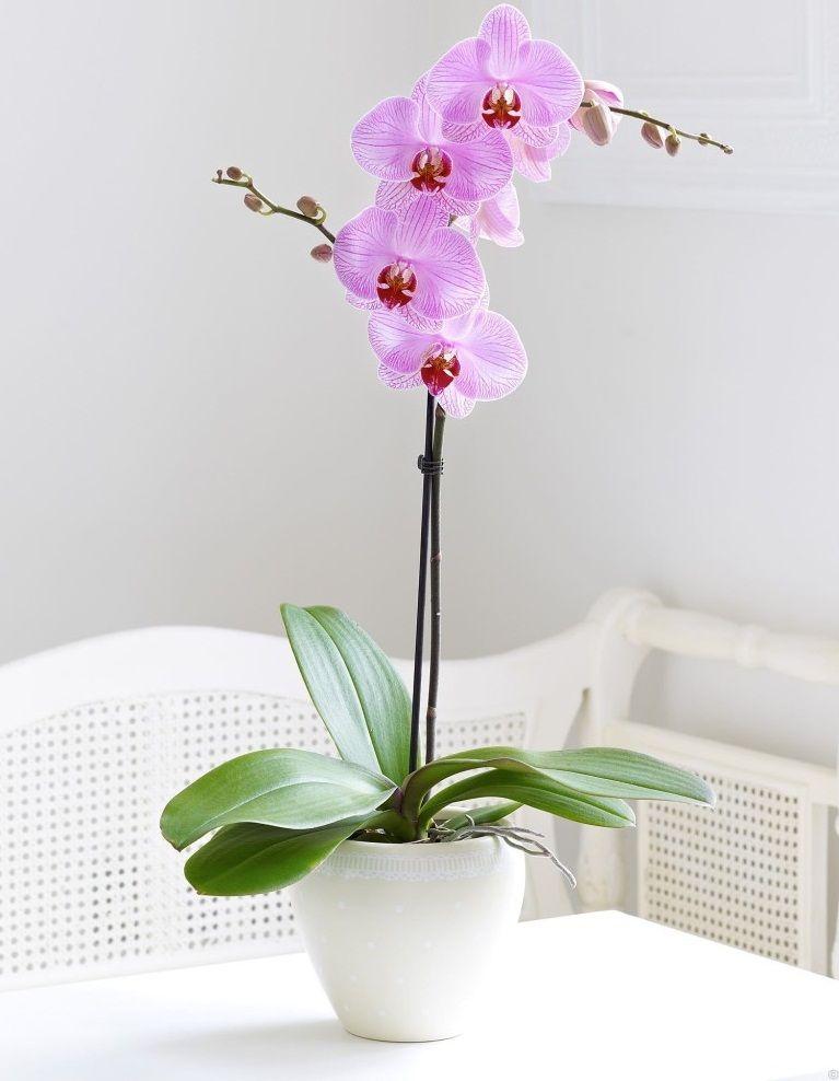 Фото 12 - Нежная сиреневая орхидея