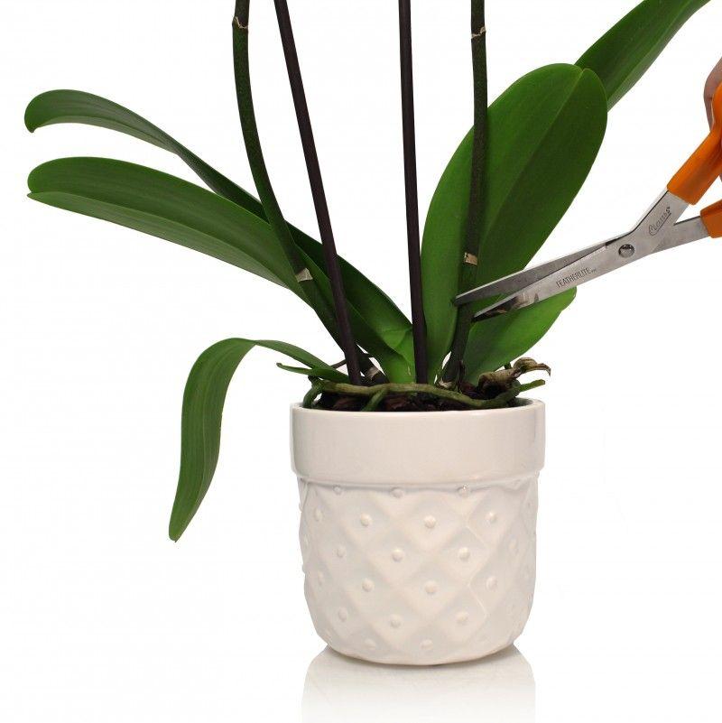 Фото 14 - Если узлы побегов находятся на значительном расстоянии друг от друга, что характерно для некоторых быстрорастущих видов орхидей, то подойдет данный способ размножения
