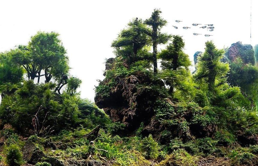 Благодаря яванскому мху, созданы многочисленные кроны подводного пейзажа
