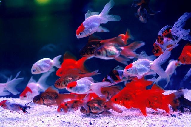 Чистая, прозрачная вода, светлый грунт и золотые рыбки создадут удивительную и прекрасную картину
