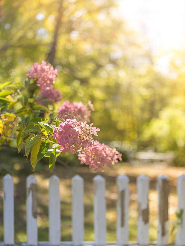 longue floraison rose
