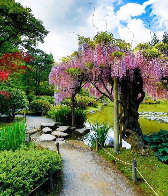 Глициния с нежно-розовыми цветками