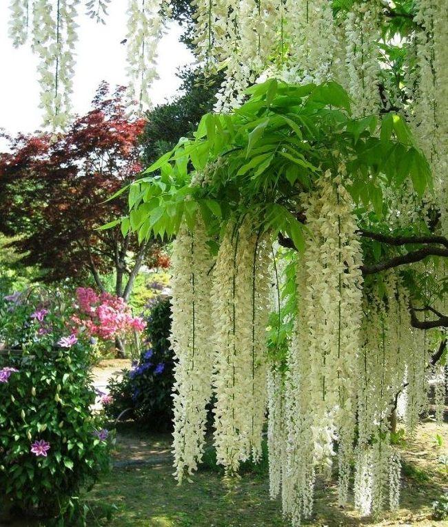 Белые нарядные соцветия глицинии