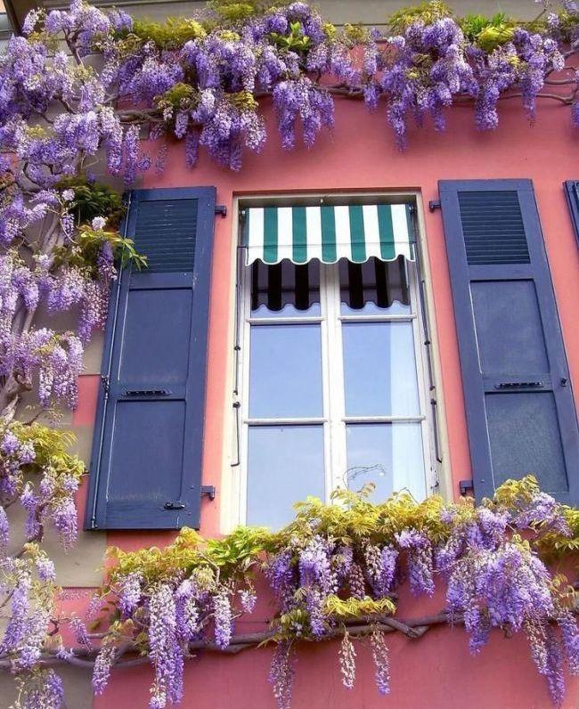 Гроздья глицинии обрамляют окно