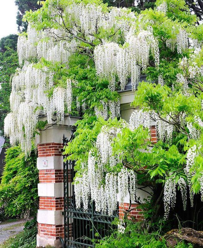 Белая японская глициния