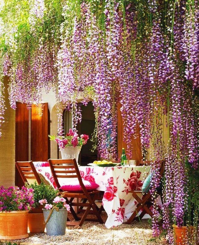 Красивая ухоженная глициния на дачном дворе