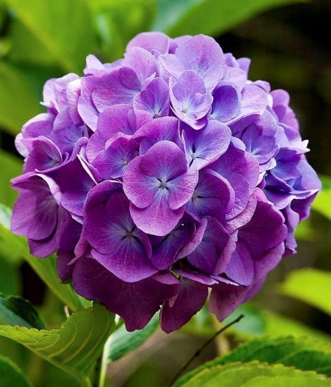 Гортензия - теплолюбивый кустарник родом из Японии