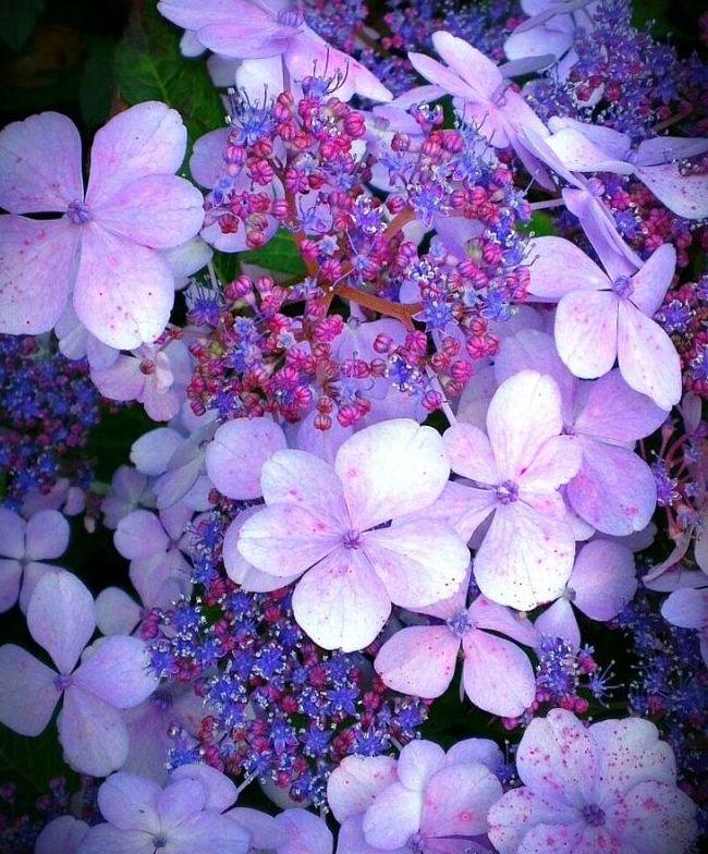 Гортензия Саржента - сказочный цветок удивительной красоты