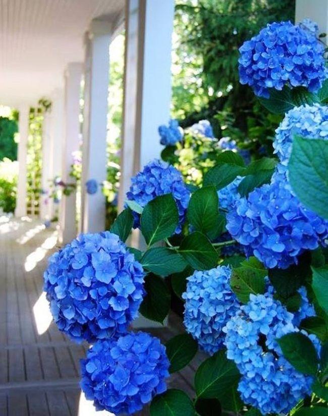 Вьющаяся черешковая гортензия сочного голубого цвета