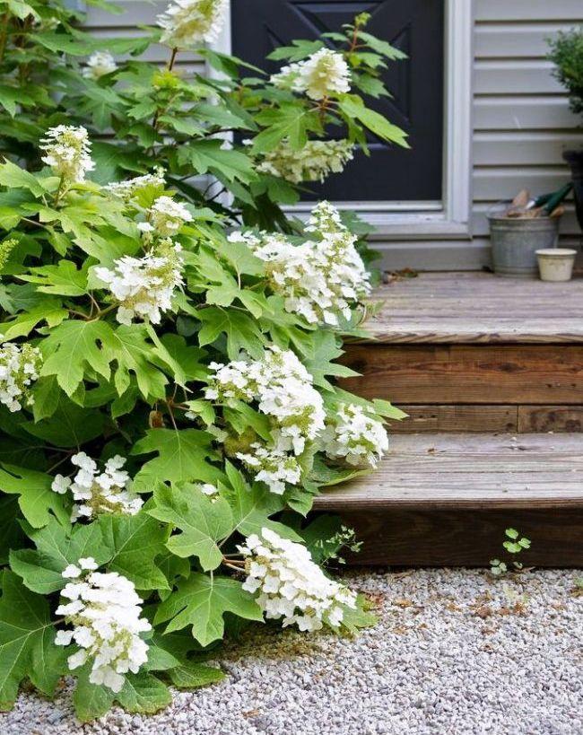 Дуболистная гортензия имеет листья, похожие на листья дуба