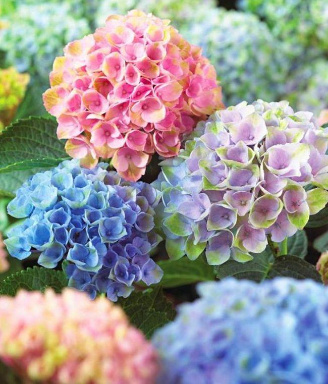 Крупные пышные соцветия садовой гортензии