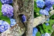 Фото 10 Гортензия (60 фото) — королева в вашем саду: виды и особенности ухода