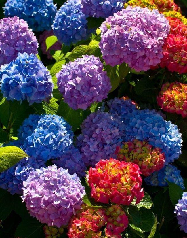 Ухоженная гортензия принесет яркие, радующие глаз соцветия