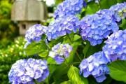 Фото 4 Гортензия (60 фото) — королева в вашем саду: виды и особенности ухода