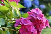 Фото 8 Гортензия (60 фото) — королева в вашем саду: виды и особенности ухода
