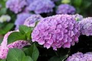 Фото 12 Гортензия (60 фото) — королева в вашем саду: виды и особенности ухода