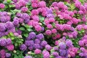 Фото 14 Гортензия (60 фото) — королева в вашем саду: виды и особенности ухода