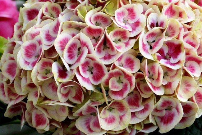 Цветы гортензии - нежные и сказочно красивые
