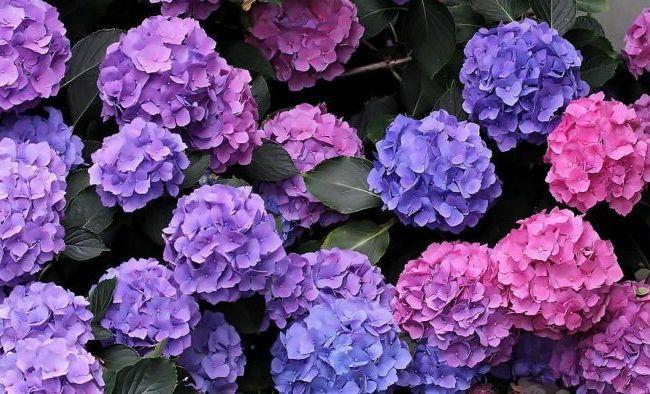 Ухаживайте за гортензией - и она порадует вас яркими красками