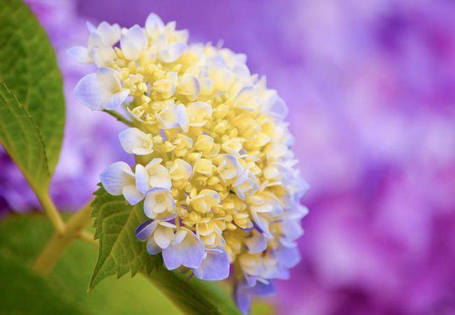 Красивой желто-голубое соцветие гортензии