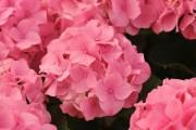 Фото 2 Гортензия (60 фото) — королева в вашем саду: виды и особенности ухода