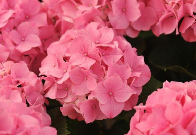 Яркие розовые соцветия гортензии