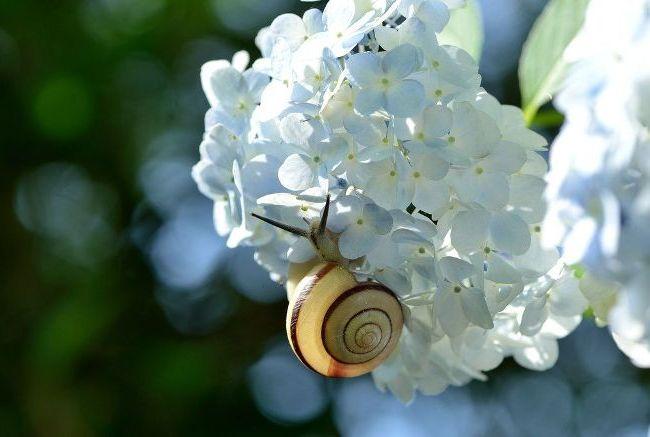 Крупнолистная гортензия с белыми соцветиями