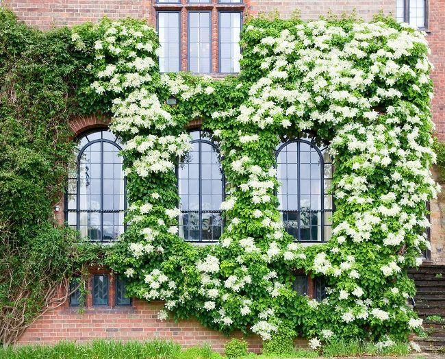 Красивая белая гортензия обрамляет кирпичную стену здания