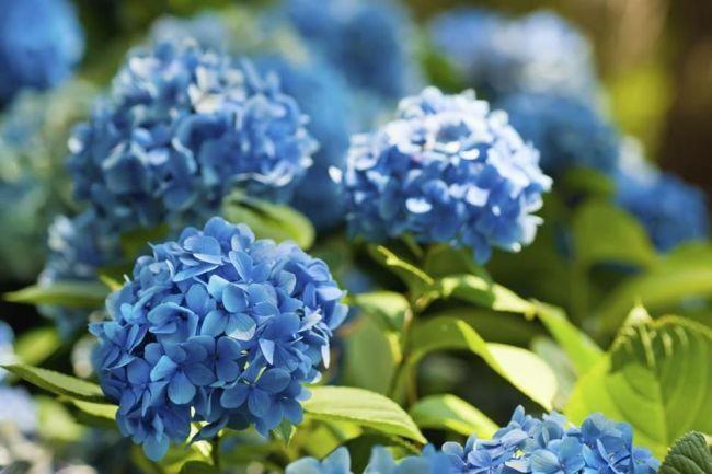 Нежные голубые соцветия гортензии