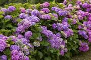 Фото 19 Гортензия (60 фото) — королева в вашем саду: виды и особенности ухода