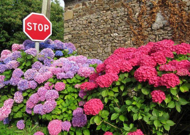 Оттенки цветков гортензии могут быть самыми разнообразными - от белого до насыщенного сиреневого
