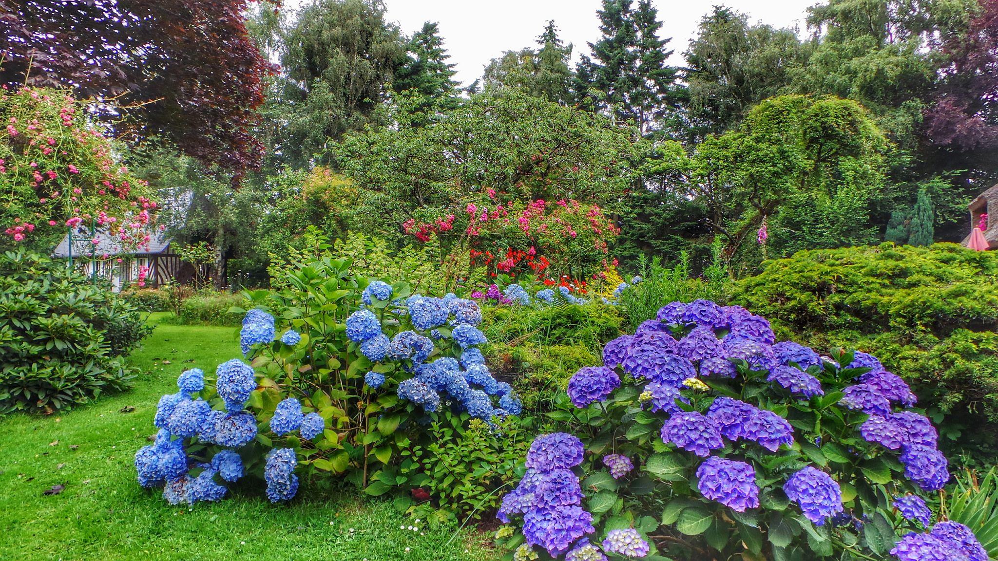 Все о садовых цветах гортензии
