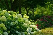 Фото 25 Гортензия (60 фото) — королева в вашем саду: виды и особенности ухода
