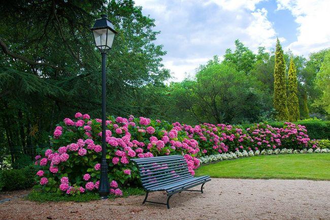 Яркие розовые цветы гортензии эффектно смотрятся на фоне сочной зелени