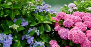 Гортензия (60 фото) — королева в вашем саду: виды и особенности ухода фото