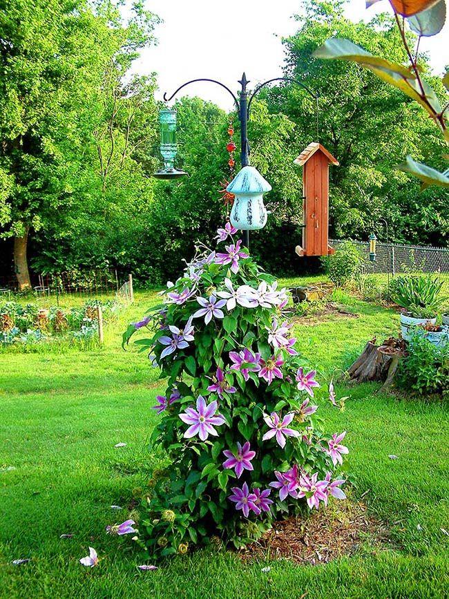 Выращивание клематис в саду 414