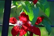 Фото 20 Клематисы в ландшафтном дизайне (45 фото): роскошное украшение двора