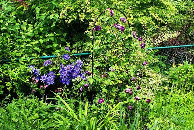 Клематис Мульти блю особенно хорош для выращивания в небольших садах
