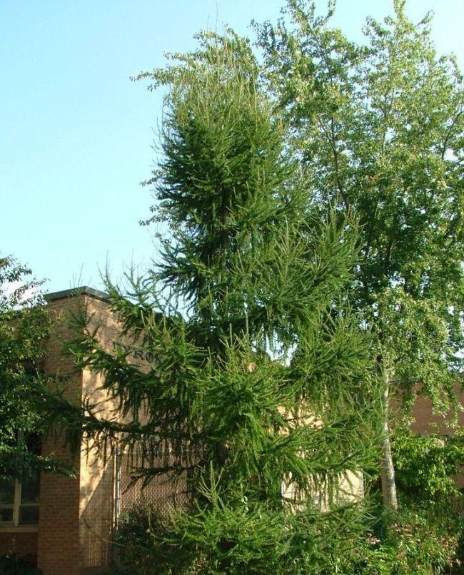 Сибирская лиственница вырастает до 40 метров в высоту