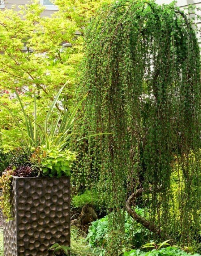 Высаживать лиственницу можно весной или осенью