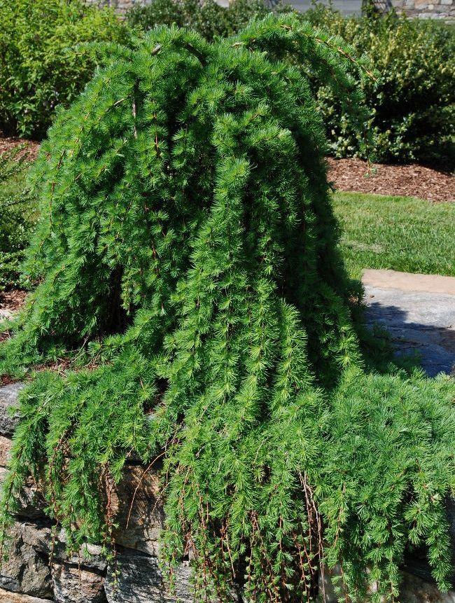 Веточки лиственницы красиво стелятся по каменному бордюру