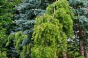 Фото 7 Лиственница (42 фото) — красавица с опадающей хвоей: виды, свойства, посадка, уход