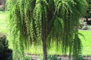 Фото 10 Лиственница (42 фото) — красавица с опадающей хвоей: виды, свойства, посадка, уход