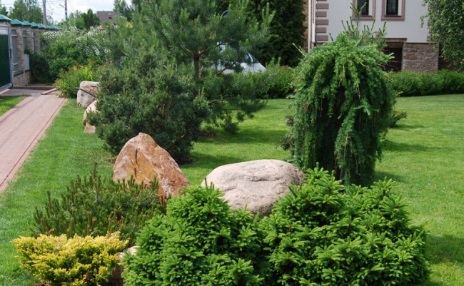 Молодое деревце лиственницы на дачном участке