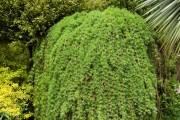 Фото 14 Лиственница (42 фото) — красавица с опадающей хвоей: виды, свойства, посадка, уход
