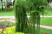 Фото 4 Лиственница (42 фото) — красавица с опадающей хвоей: виды, свойства, посадка, уход